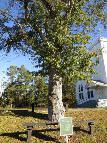 This is the tree where Nurse Rivers met with participants of the National Public Health Service's infamous syphilis study.